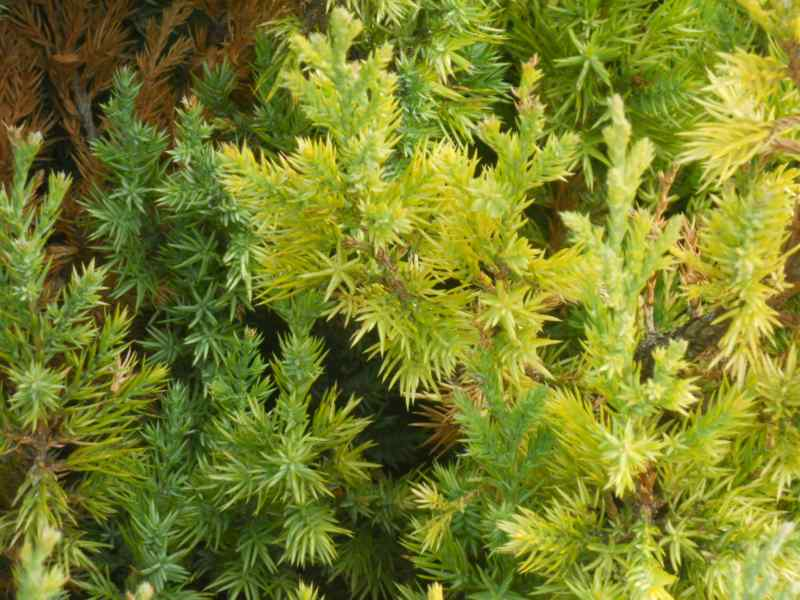 Juniperus chinensis 'Pyramidalis' 2