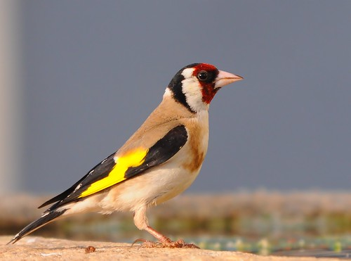 Pintassilgo / European Goldfinch