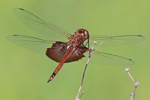 insect dragonflies trameacarolina carolinasaddlebags