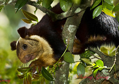 Giant Indian Squirel  or Malabar Giant Squirrel