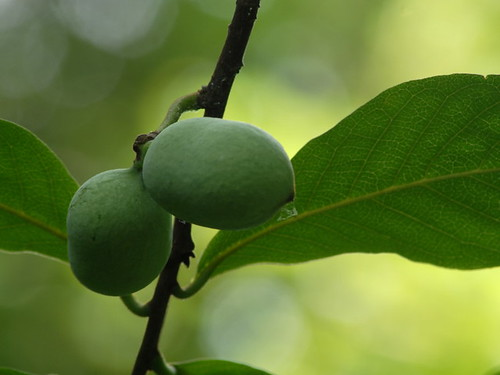 Tall Pawpaw, Asimina triloba, fruit