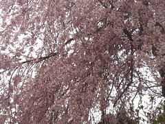 Weeping Cherry at Long Hill by randubnick