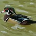 Small photo of American Wood Duck (Aix sponsa)