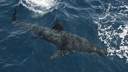 Shark from boat
