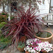 Festival Burgundy cordyline in container on patio