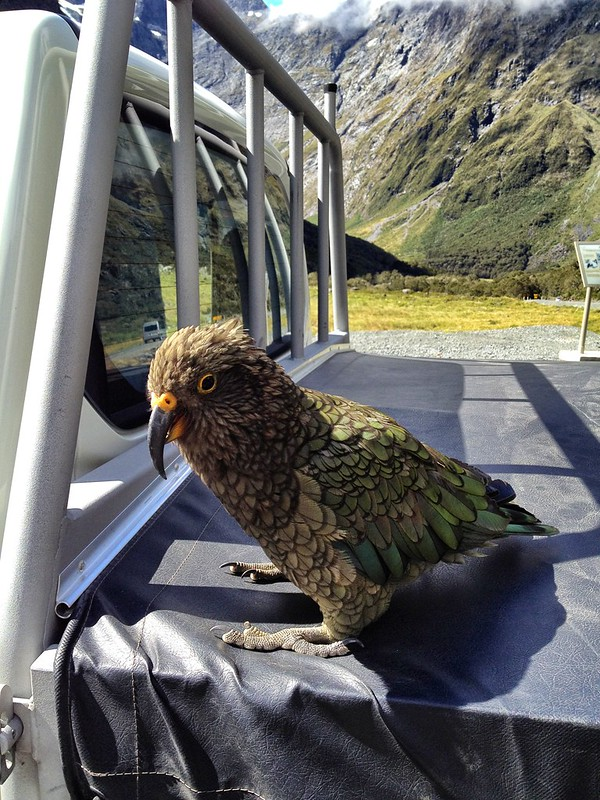 Kea, The Alpine Parrot