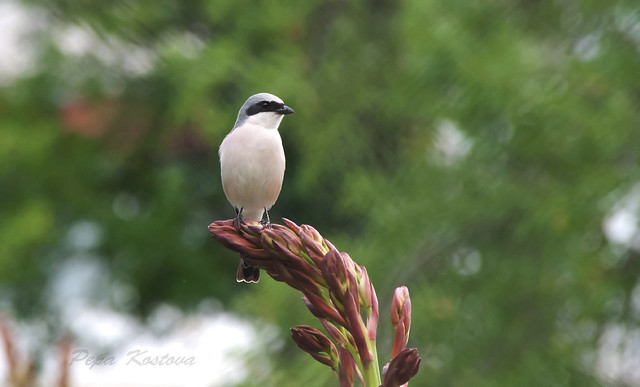 DSC_5595  Lesser Grey Shrike (Lanius minor)
