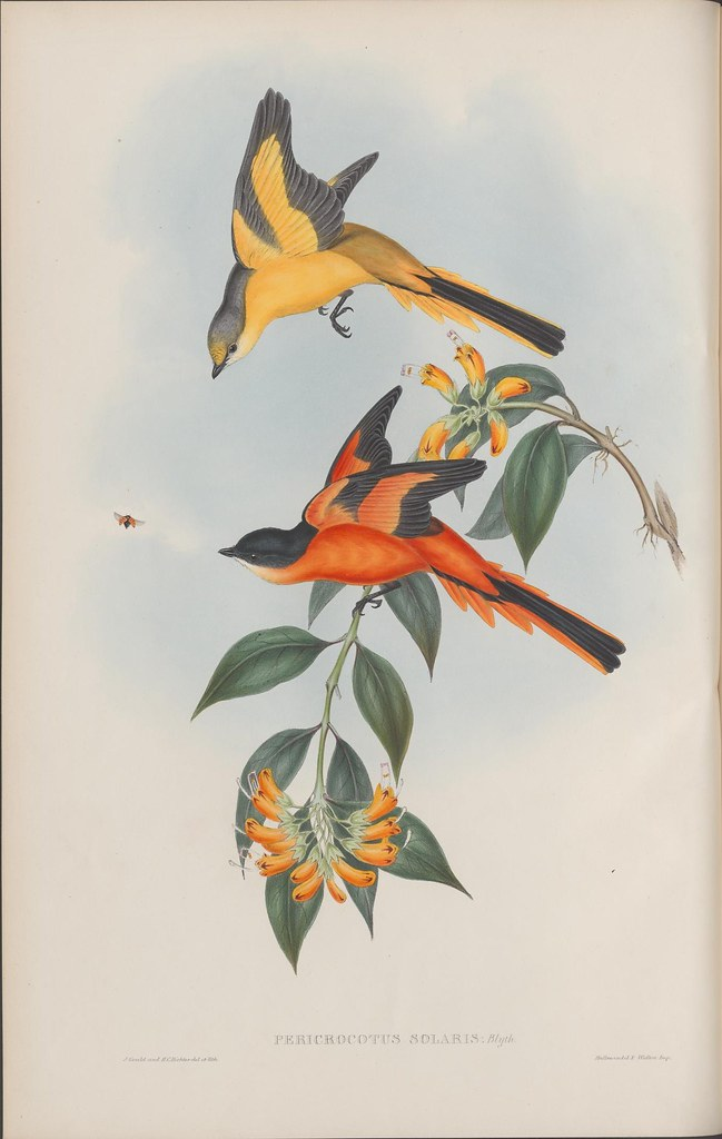 bright orange & bright yellow birds in flight actively trying to catch insects around flowering tree branch