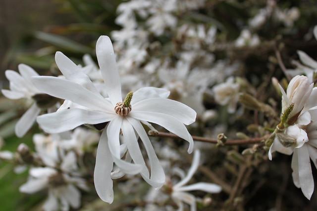20140405_2973-magnolia-stellata