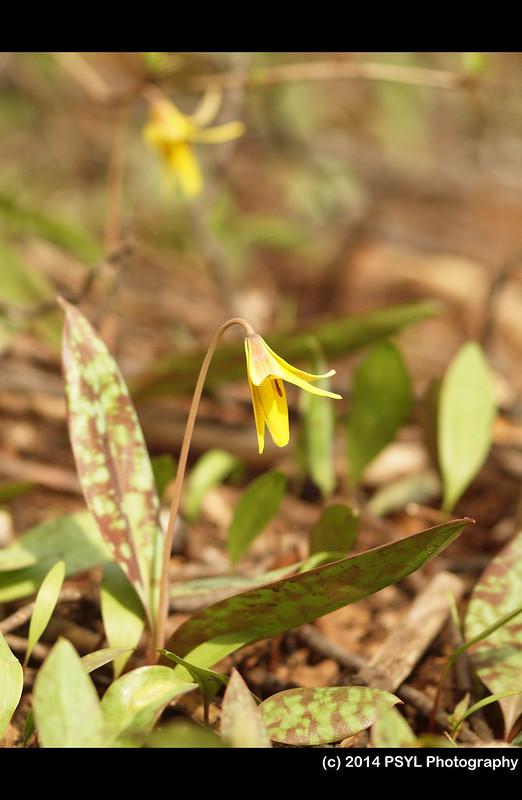Trout-lily (Erythronium americanum)