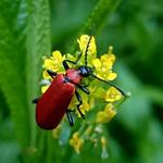 nagy bíborbogár - Pyrochroa coccinea