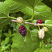 Red Mulberry - Photo (c) wplynn, some rights reserved (CC BY-ND)