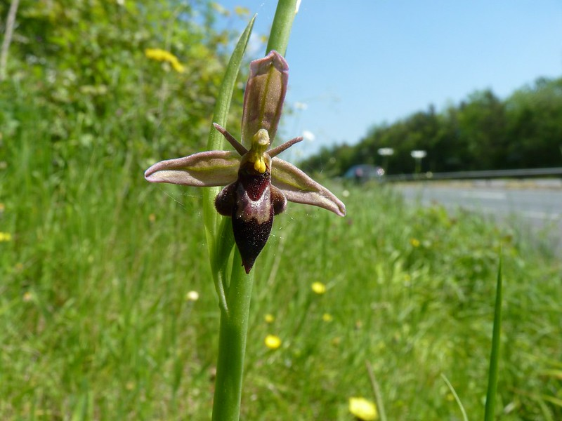 Bee x Fly Orchid - Somerset
