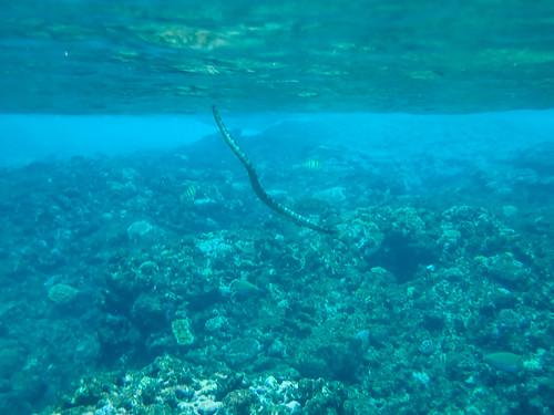 Sea Snake, Niue