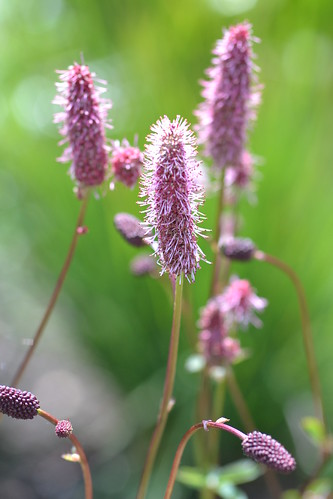 SANGUISORBA menziesii 'Wake Up'