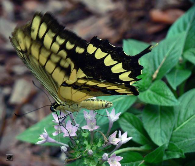 Sárgafűzéres fecskefarkú - Giant swallowtail