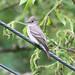 Birds: Flycatchers and Larks
