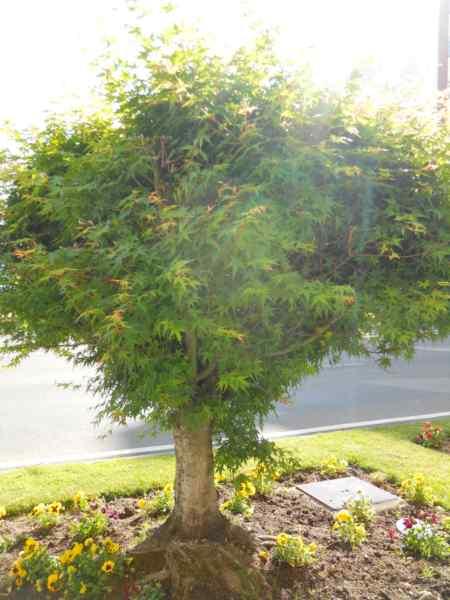 Acer palmatum v 3