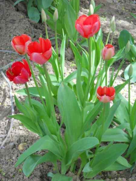 Tulipa darwin v 5