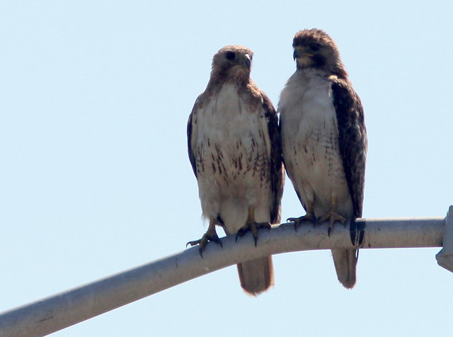 Red-tailed Hawks 20110706