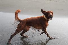 animal, dog, brown, pet, mammal, irish setter, setter,