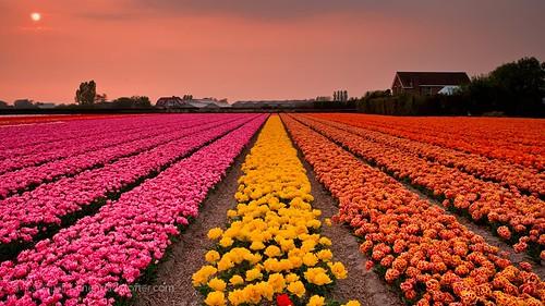 风景 郁金香 花卉 荷兰 摄影 色彩