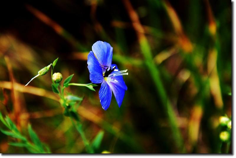 Blue Flax 2