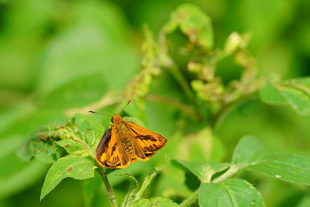 橙斑弄蝶屬竹橙斑弄蝶14S101