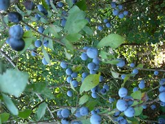 berry, branch, tree, flora, produce, fruit, food, prunus spinosa,