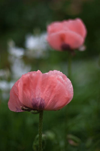 Poppy and Bokeh