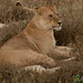 Lion in the Serengeti - Tanzania