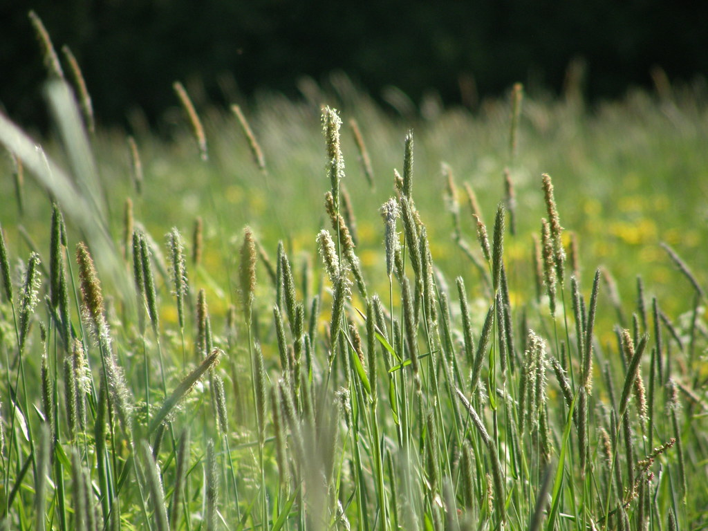 how to grow timothy grass