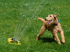 animal, dog, grass, pet, mammal, welsh terrier, lawn, terrier,