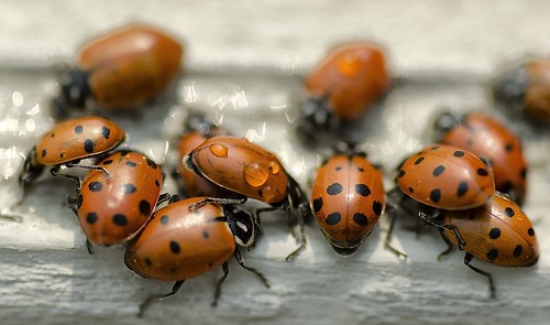 Thirsty Lady Bugs