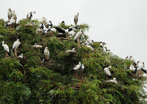 Asian Openbill colony :mass nesting