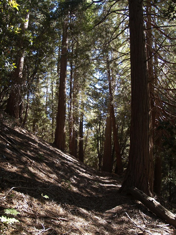 Tall pines and deep shade on the Middle Fork Trail