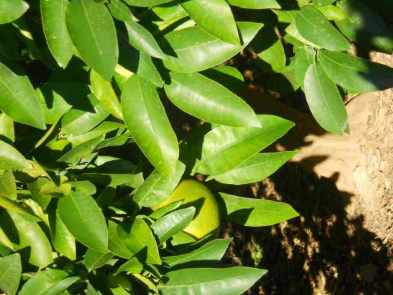 Citrus x paradisi 'Rio Red' 3