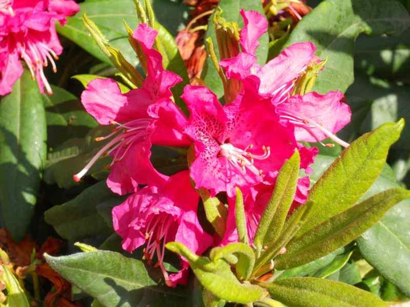 Rhododendron x 'Tina Heinje' 1