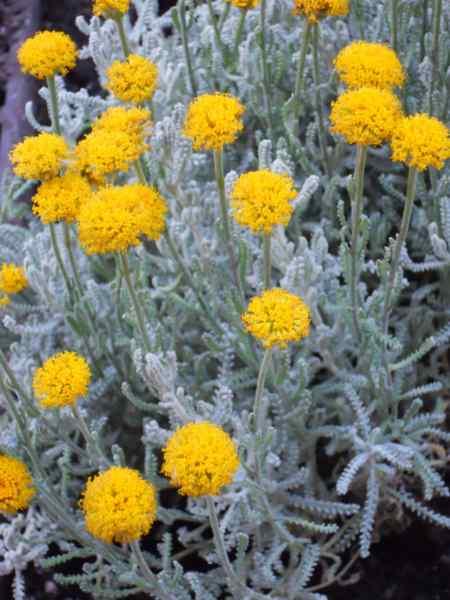 Santolina chamaecyparissus v 4