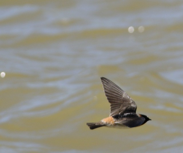 Cliff Swallow in Flight from a Bridge