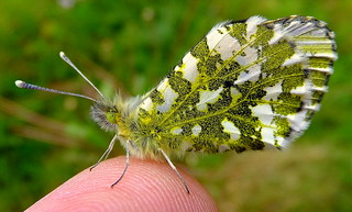 Fuji FinePix F600EXR.Macro Mode.Cold Female Orange Tip Butterfly On My Warm Finger.May 13th 2014.