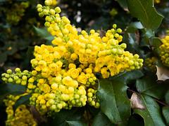 produce(0.0), fruit(0.0), food(0.0), evergreen(1.0), shrub(1.0), flower(1.0), yellow(1.0), tree(1.0), plant(1.0), flora(1.0), green(1.0), oregon grape(1.0),