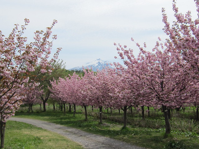 Double Cherry Blossoms and Mt.Iwaki / 八重桜と岩木山