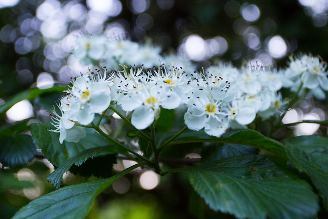 White Blossoms & Bokeh