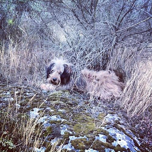#dogoftheday #dogsofinstagram #dogsofinstagram #instdog #dog #valpacos #cao #cachorro