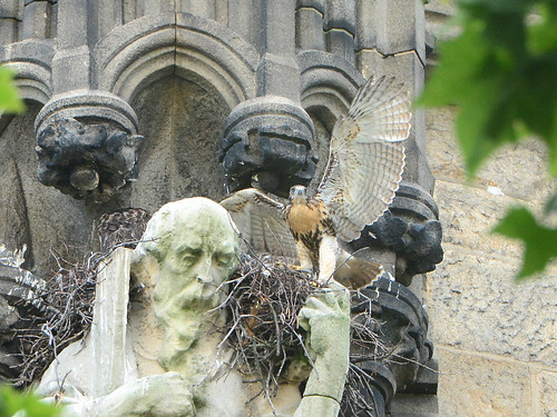 Cathedral Hawk Nestlings (1541)