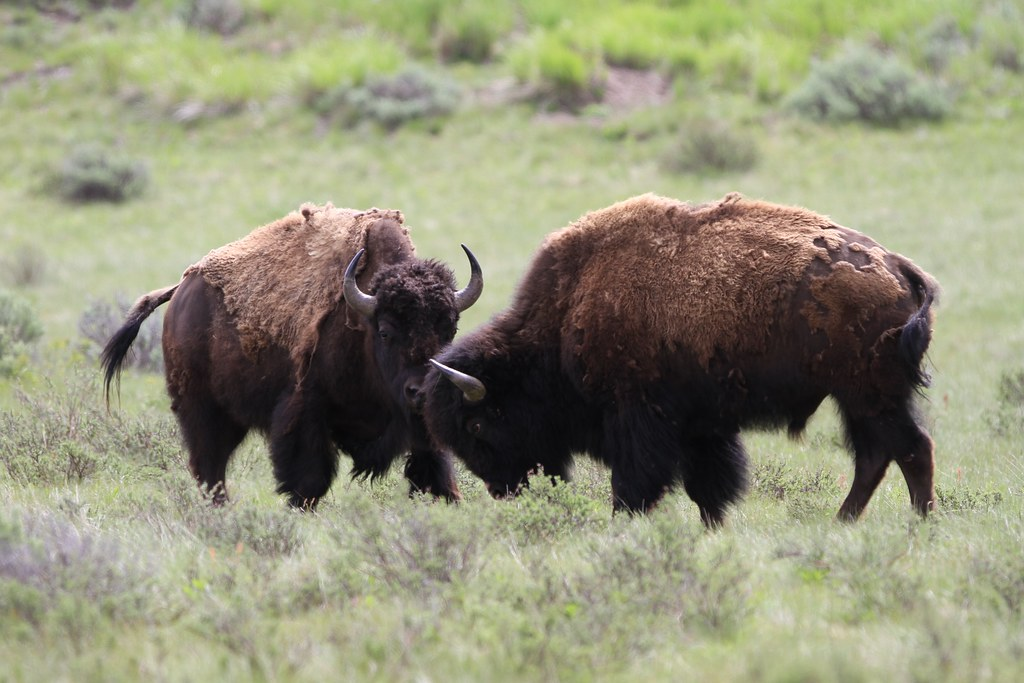 Image result for two bison