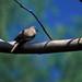 Inca Dove, Santa Maria del Oro, MX, 1997_03_25 002.jpg por maholyoak