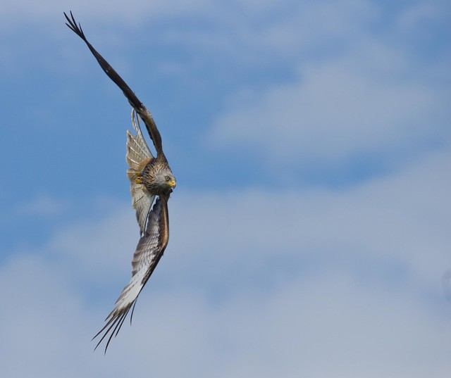 red kite turning 2