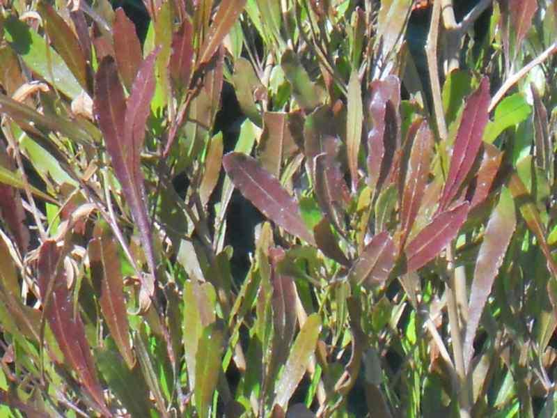Dodonaea viscosa 'Purpurea' 2